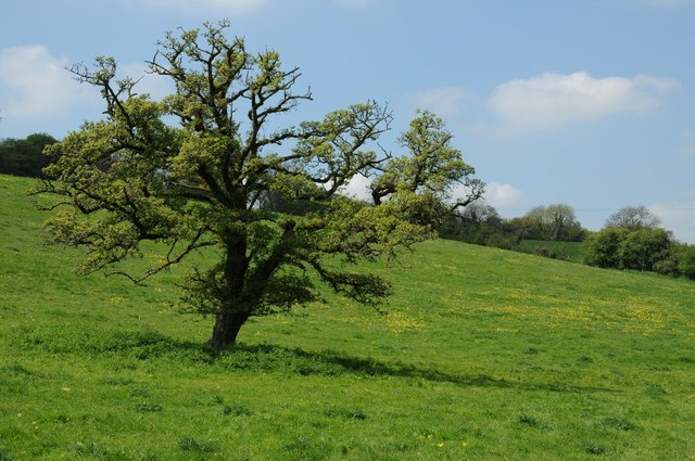 Oak tree in Barnsley Warren