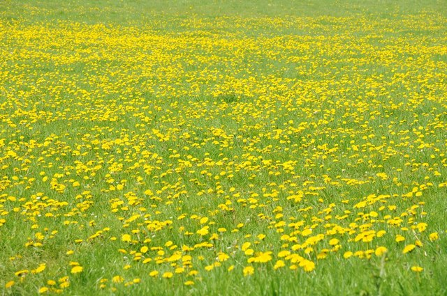 Dandelions in flower