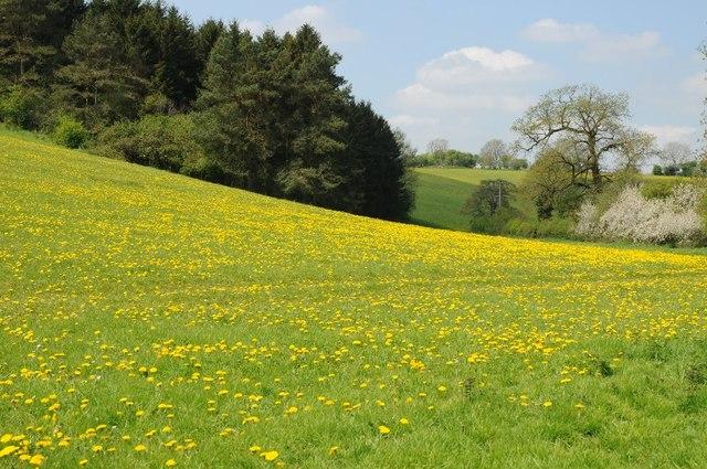 Dandelions in flower beside Barnsley Warren