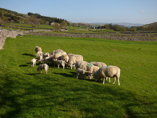Sheep feeding near Hawkswick Head