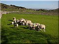 SD9771 : Sheep feeding near Hawkswick Head : Week 19