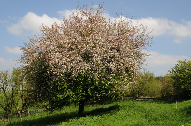 Hawthorn tree in blossom