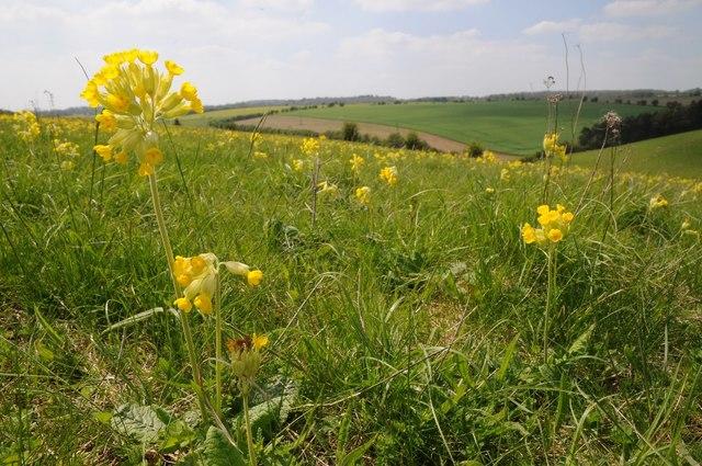 Cowslips in a field