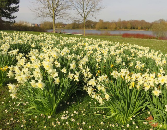 Daffodils by Caldecotte Lake