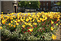 SX9164 : Tulips at Castle Circus, Torquay by Derek Harper