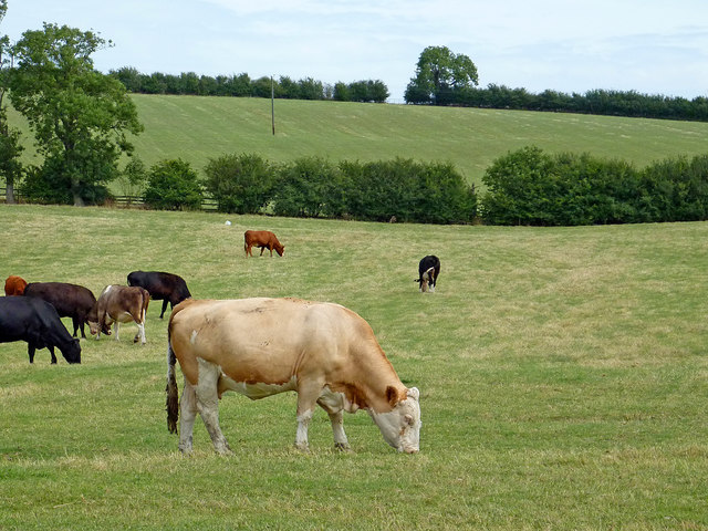 Cattle west of Barby in Northamptonshire