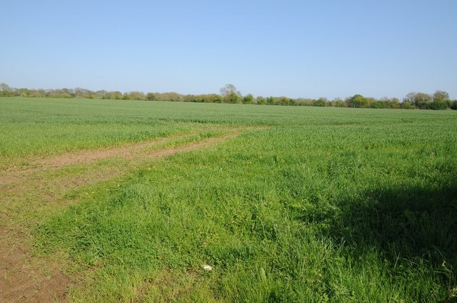 Field of winter cereals near Siddington
