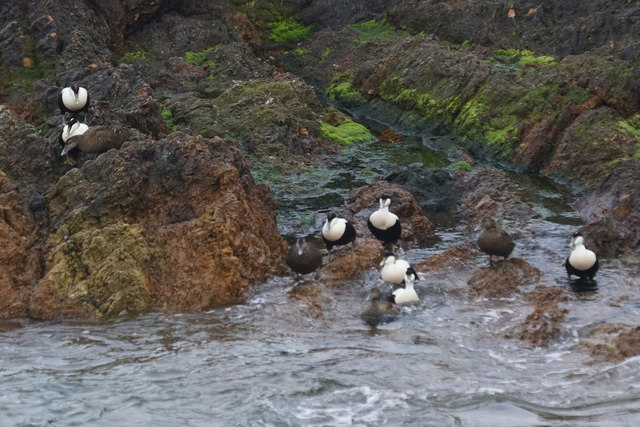 Common Eiders (Somateria mollissima), Skeld, Foula