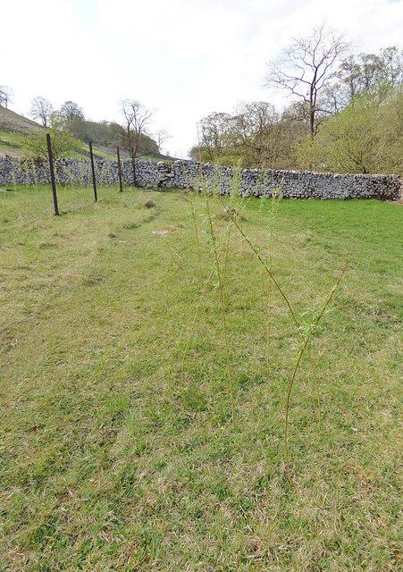 Plantation on a footpath near Kettlewell