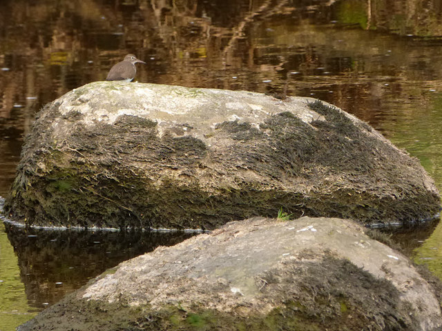 Common Sandpiper on a rock in the Wharfe near Kettlewell