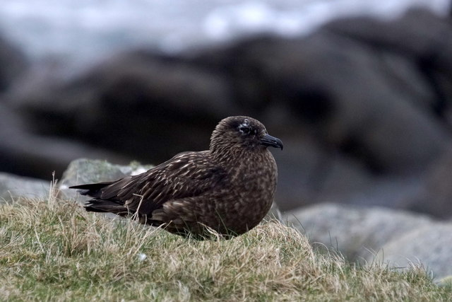 Great Skua (Stercorarius skua), Hiorawick, Foula