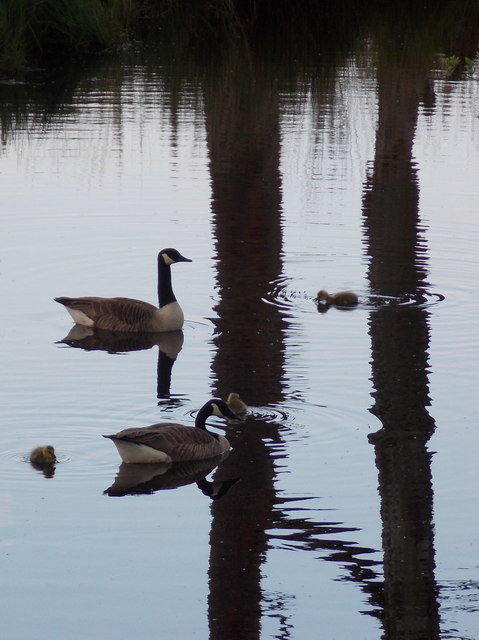 Hurn: geese and their young on a Rams Down pond
