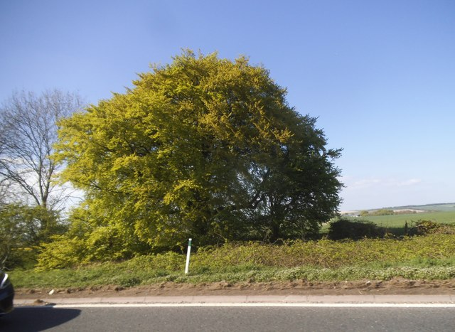 Tree by the A303, West Knoyle by David Howard