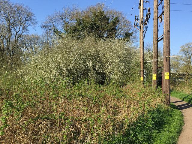 Flowering trees in Brindley's Field, southeast Warwick