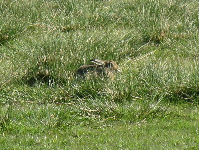 Brown hare in green grass
