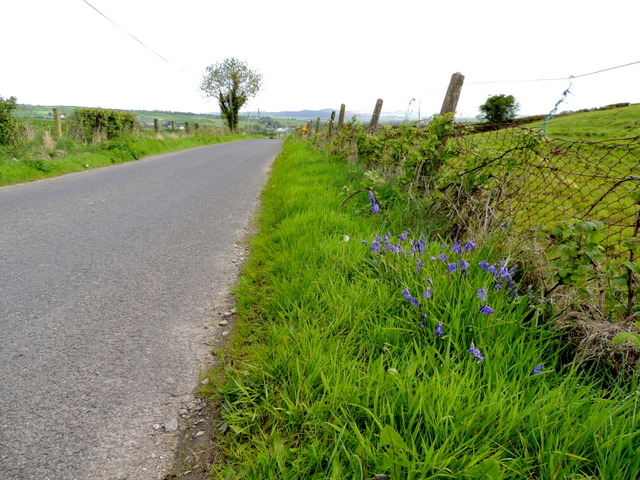 Bluebells along Carnkenny Road