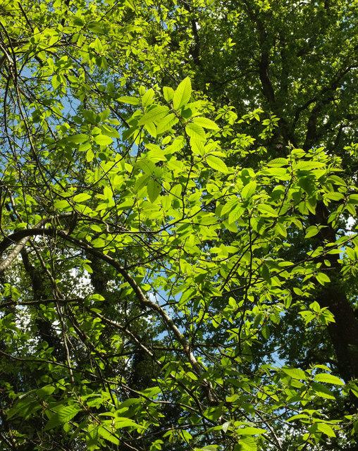 Sweet chestnut leaves, Ashclyst Forest