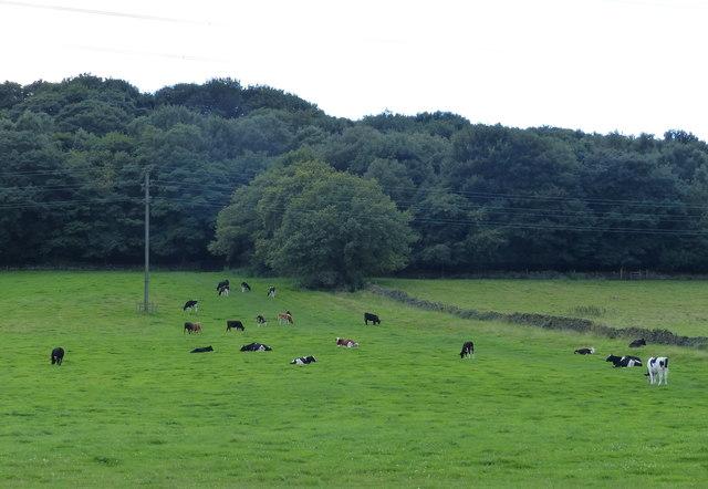 Cattle next to Calverley Wood