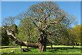 SS9700 : Sweet chestnut, Killerton by Derek Harper