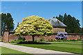 ST2885 : Acer brilliantissimum and wisteria, Tredegar House gardens, Newport by Robin Drayton