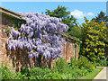 ST2885 : Wisteria,Tredegar House gardens, Newport by Robin Drayton