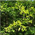 SX9364 : Oak, Stoodley Green by Derek Harper