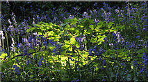 SX9364 : Bluebells, Bishop's Walk by Derek Harper