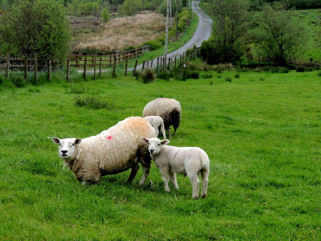 Ewe and lamb, Drumnakilly