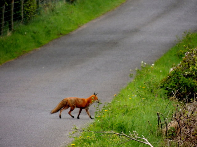 Fox, Fernagh