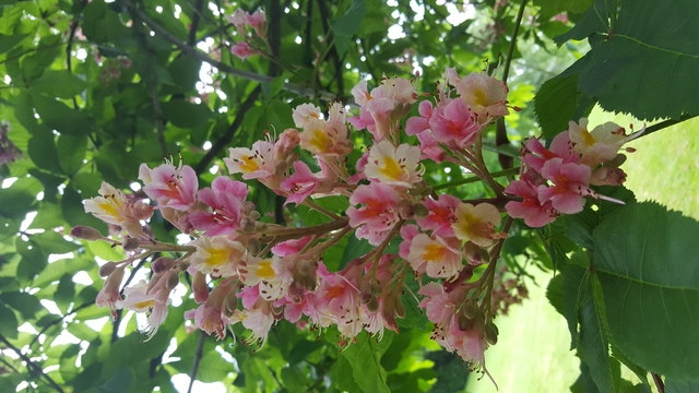 Horse Chestnut Bloom