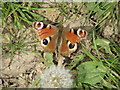 TA0748 : Peacock  Butterfly  (Inachis  io)  on  footpath by Martin Dawes