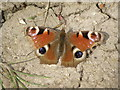 TA0748 : Peacock  Butterfly  (Inachis  io)  on  footpath  (2) by Martin Dawes
