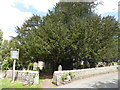 TQ7552 : The 1,500 year old yew in Loose Churchyard by Marathon