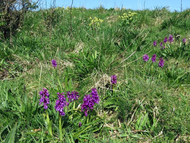 Early purple orchis, Fort Point