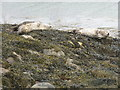 NR1652 : Seals at Portnahaven by M J Richardson