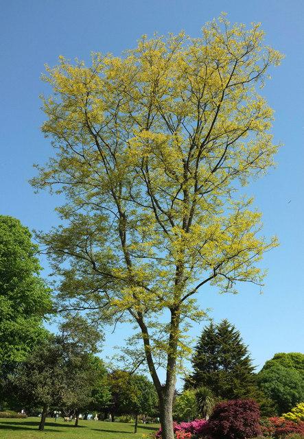 Tree, Devonport Park