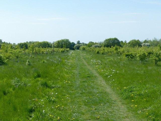New woodland near Thrussington, with footpath