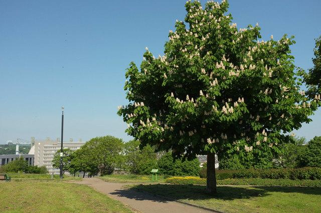 Horse chestnut, Devonport Park