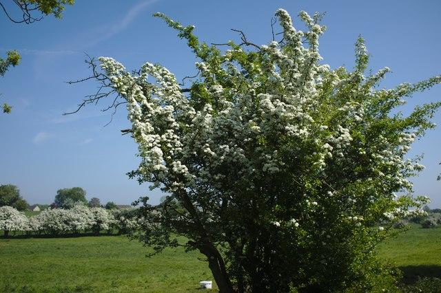Hawthorn in full blossom