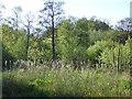 SE2641 : Bulrushes, Breary Marsh by Stephen Craven