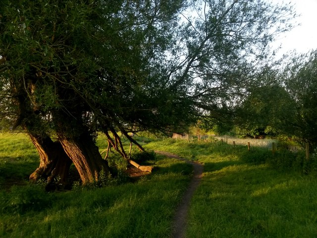 Canford Magna: the riverside path passes an interesting tree