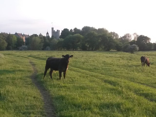 Canford Magna: a grazing cow and a School view