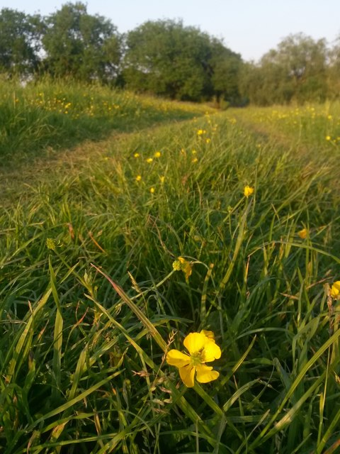 Canford Magna: a buttercup on the riverside path