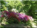SU9941 : Winkworth Arboretum - Azaleas by Rob Farrow
