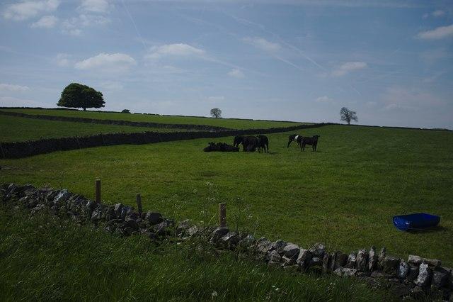Bullocks at rest
