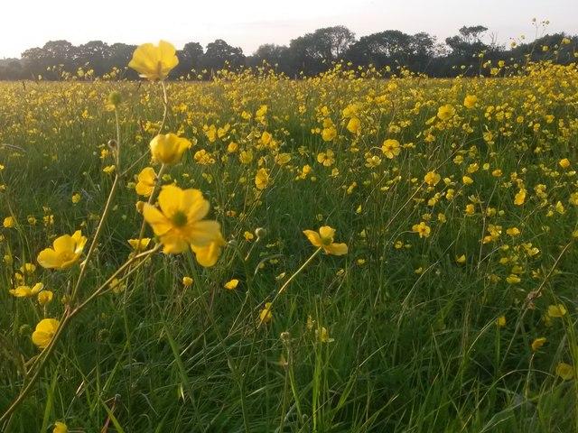 Canford Magna: an abundance of buttercups