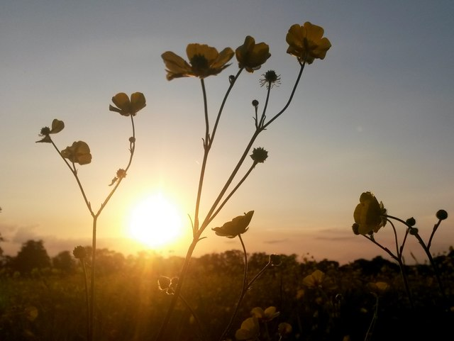 Canford Magna: buttercups at sunset