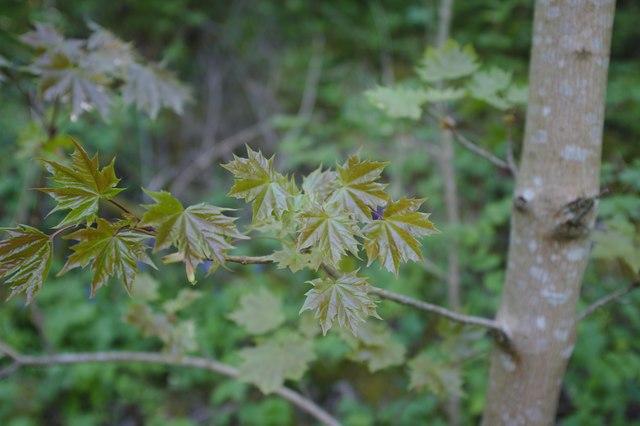 Half-emerged maple leaves
