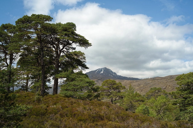 Scots Pine beside the Affric Kintail Way