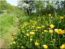 H4772 : Buttercups, Mullaghmore by Kenneth  Allen
